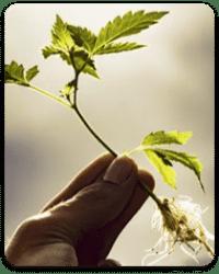מחזור האור של צמח הקנאביס